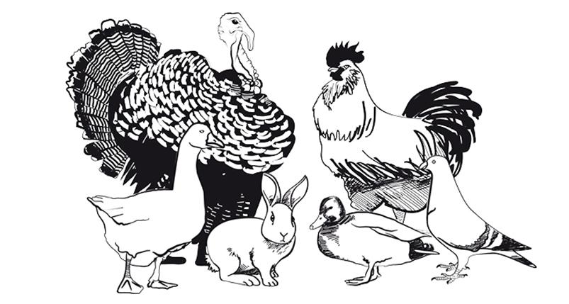 illustration-animaux-gravure-bascoure-volaille-encre-noir-dessin-comice-agricole